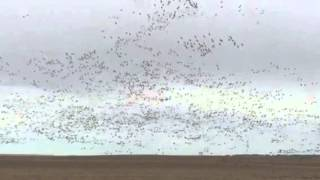 Sandhill Cranes between Mission South Dakota and Kadoka Sou