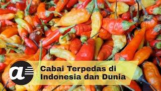 Cabai Terpedas di Indonesia dan Dunia