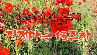 양귀비 꽃 축제 직전마을 13주차