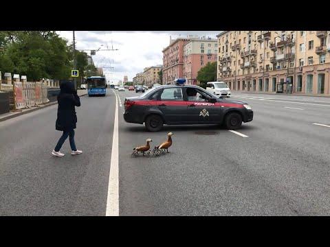 Пернатые ходоки: в Москве из-за утиного семейства перекрыли Ленинский проспект