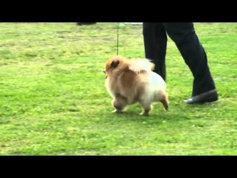 all breed dog show  best in show pomeranian crystal ricci boss