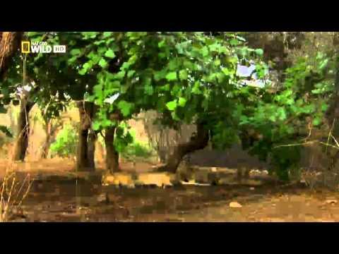 Secretos de la india salvaje leones del desierto youtube - Secretos de india ...