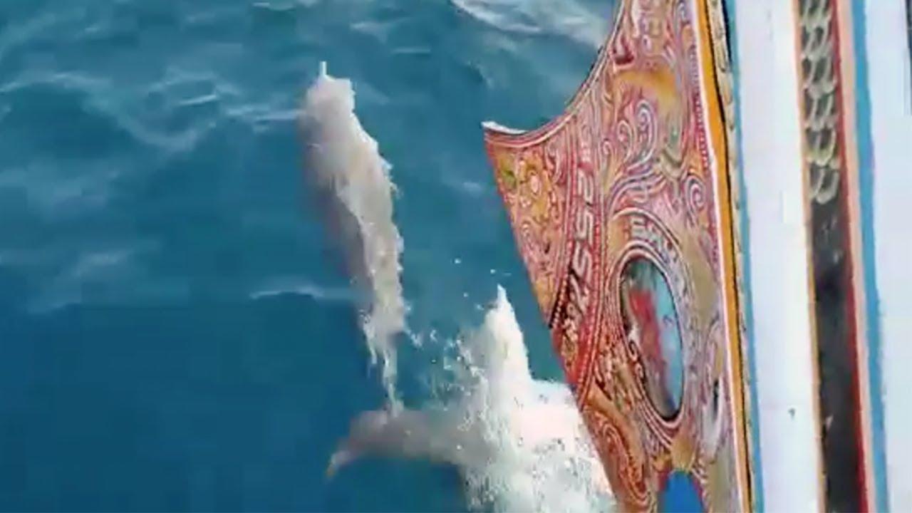 מרהיב: דולפינים שוחים לצד סירה בבאלי