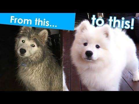 How to groom a Samoyed puppy