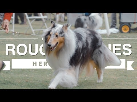 HERDING WITH ROUGH COLLIES