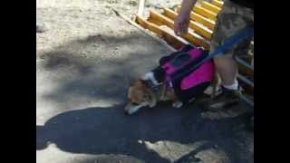Ladybug Wearing Her Hiking Backpack--welsh Corgi