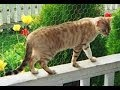 Animal Planet  : Cats 101 ~  Sokoke