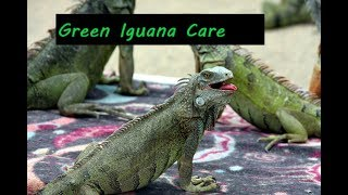 How to care for green Iguana. Quick care guide for green Iguanas.