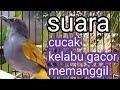 Cucak Kelabu Gacor Memanggil  Mp3 - Mp4 Download