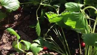 How to Grow Strong Strawberry Plants by pinching runners and blossoms