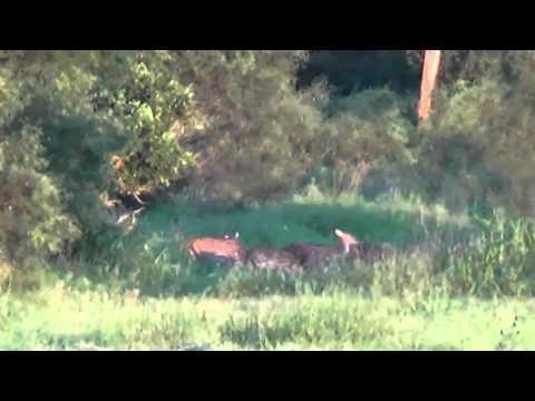 Axis Deer Herd 2