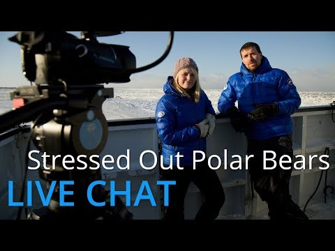 LIVE CHAT Nov 9, 2014: Stressed Out Polar Bears