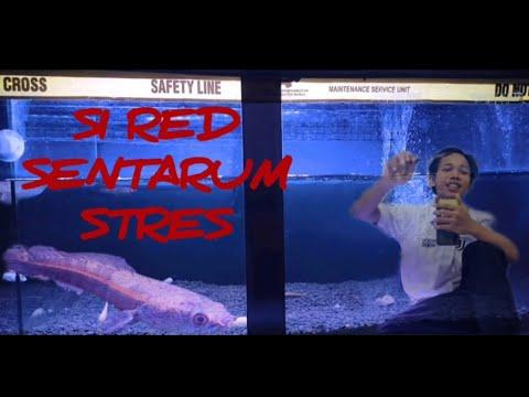 Inilah Ciri Ciri Ikan Chana Yang Stres Youtube