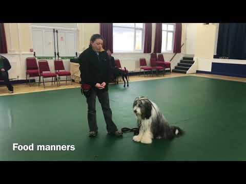 Kennel Club Good Citizenship Gold Award | Bodhi The Beardie