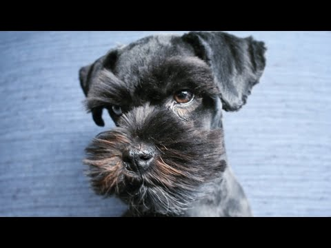 RARE FIND! Perfect TINY Schnauzer Puppy for Service or Therapy Companion