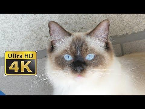 4K Ana Ragdoll Cat