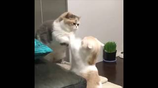 A Cute Vicious Cat Fight Between Two Fat Cats