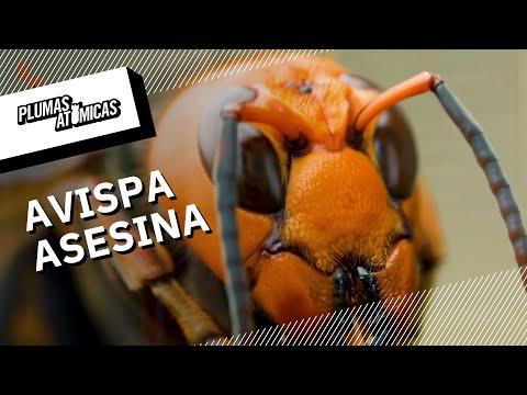 ¿Por qué la avispa asesina es un peligro? | La amenaza de la avispa asesina llega a América
