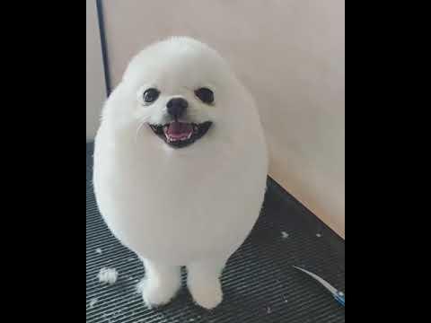 Super Cute Dog Gets Groomed