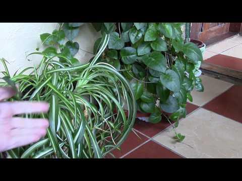 Вопрос: Как использовать чеснок для комнатных растений?
