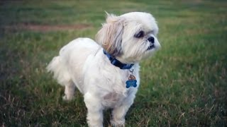 Imperial Shih Tzu | The Daily Puppy
