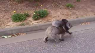 Repeat youtube video Very Angry Koala - Did you know why aggressive Koala are...