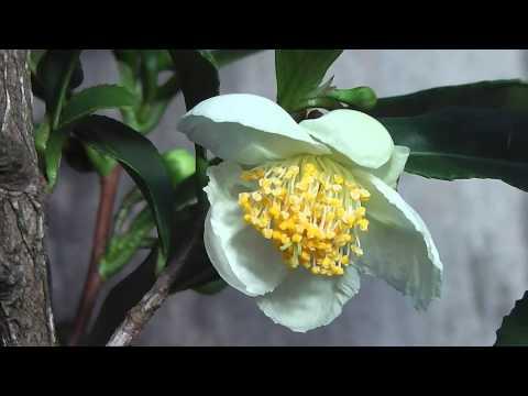 Camellia sinensis Equals Green Tea  ♨ლ (•‿•❀)