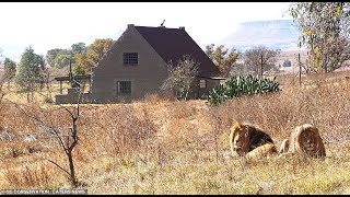 The incredible Airbnb where you sleep surrounded by 77 LIONS