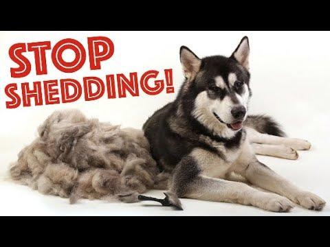 3 Tips To STOP Husky Shedding Forever!