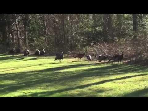 Wild Turkeys in Washington Township NJ