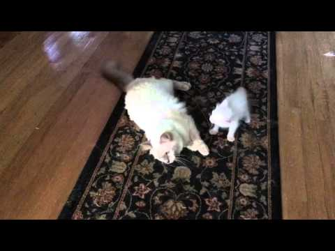 Azureys Balinese Cats- mommy cat playing with kitten