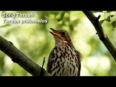 Song Thrush Birdsong