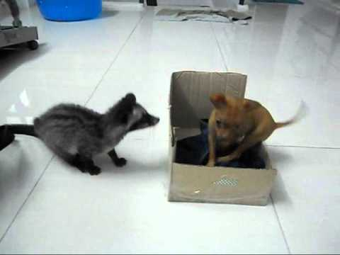 Civet VS Dog