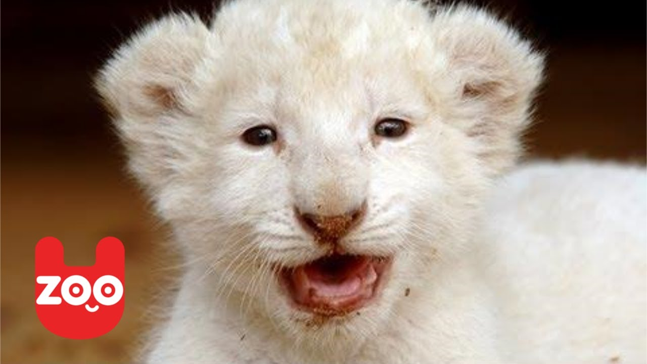 Six Baby White Lions Born in Germany - YouTube - photo#31