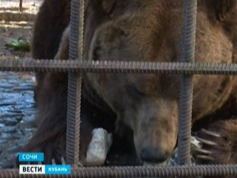 Сочинских медведей переселят от ресторана