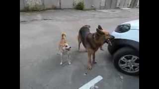 Наши собаки танцуют.