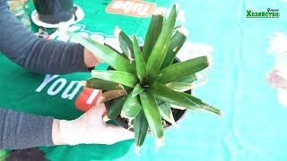 видео Как вырастить ананас дома из верхушки в домашних условиях