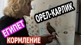 ЕГИПЕТ 2018: ПЕРВОЕ КОРМЛЕНИЕ ОРЛА-КАРЛИКА (рус.субтиры)