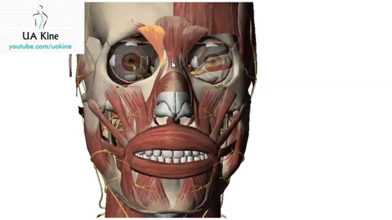 Anatomía de Cara Músculos Faciales (Mímica) - YouTube