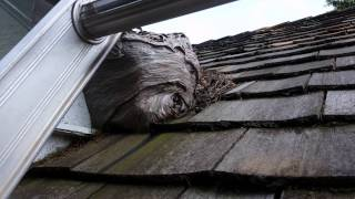 How to remove a bald faced hornets nest