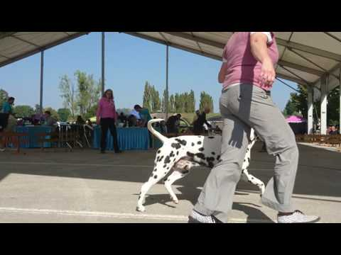 Dog Show: 4 rivers Winner 2016. CACIB Karlovac Croatia Dalmatian dogs / Dalmatians