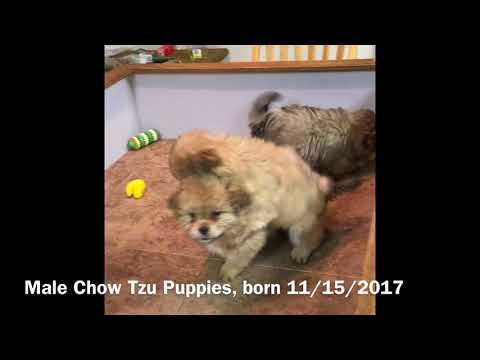 Male Chow Tzu Puppies
