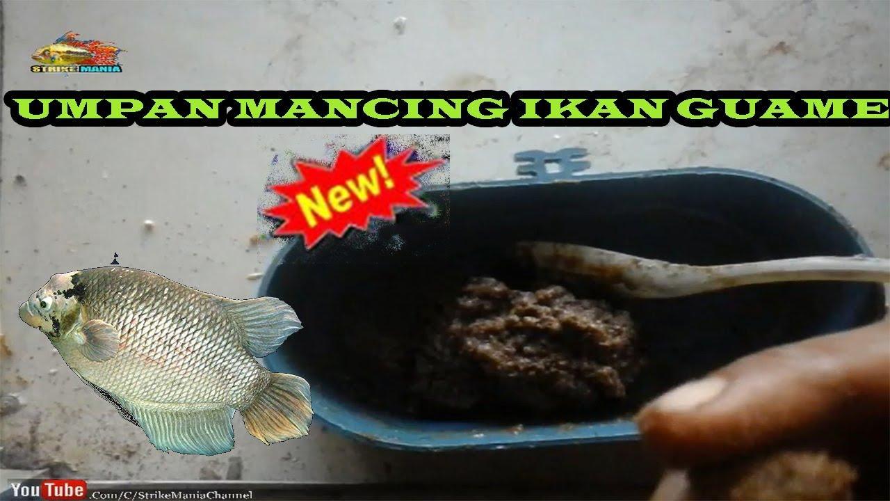 Umpan Ikan Gurame Kolam Paling Jitu Ampuh Youtube