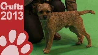 Border Terrier - Best Of Breed - Crufts 2013