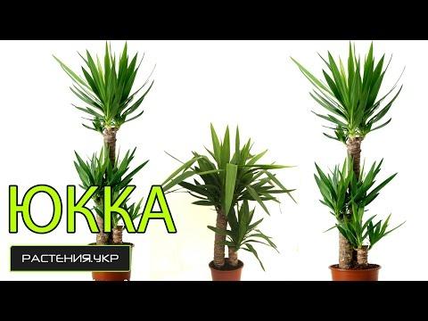 Юкка уход в домашних условиях / растение юкка