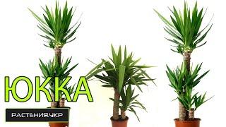 Юкка уход в домашних условиях / растение юкка(Юкка (лат. Yucca) — род древовидных вечнозелёных растений семейства Агавовые (Agavaceae). Ранее этот род включали..., 2014-11-27T12:03:49.000Z)