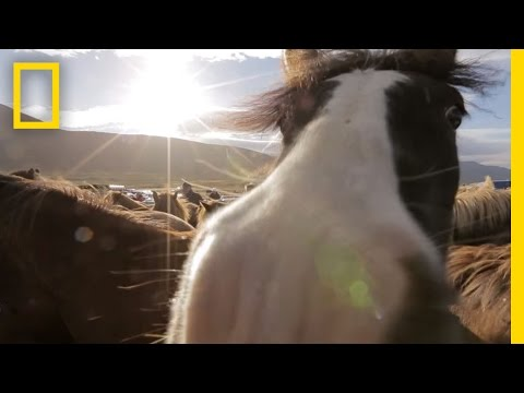 Untamed Horses in Iceland's Mountains | National Geographic