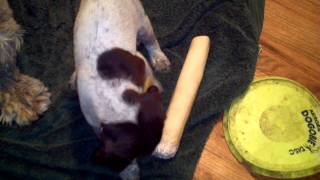 German Shorthaired Pointer Puppy Acting Tough