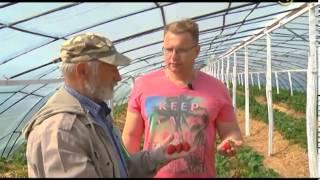 видео: Сельские истории с Сергеем Курочкиным. Клубника в теплице