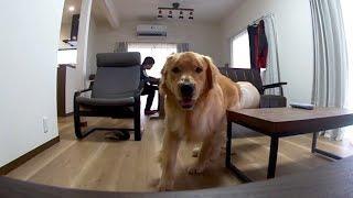 リフォームして犬用フローリングに替えました。 ゴールデンレトリバー「...